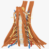 cervical human spine neck 3d max