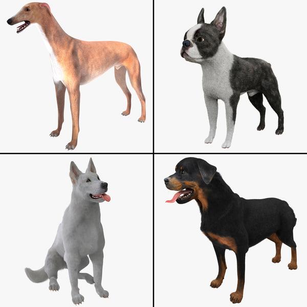 Dog Collection 4 Boston Terrier Fur doggy beast mammal canine animal breed vray pet guard k9 Rottweiler White Shepherd german Australian Greyhound
