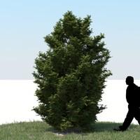 realistic thuja tree 3d fbx