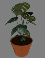 maya indoor fruit salad plant