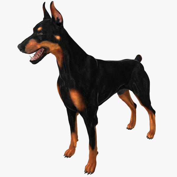 Dog Doberman dobey pinscher dobermann canine guard protection protector doggy beast mammal k9 animal breed vray pet police military