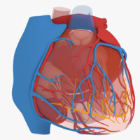 3d heart coronary veins model