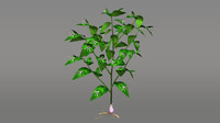 ruscus flowering plants 3d obj