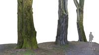 acacia tree 3d model