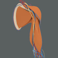 3d model shoulder muscles humerus