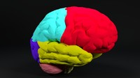 3d model human brain cerebellum stem