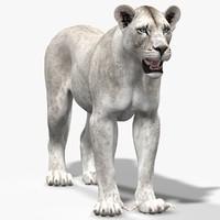 lioness white lion 3d obj