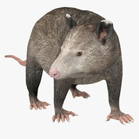 Possum Pose 2