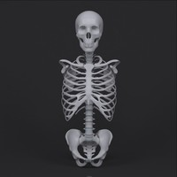 3ds max torso skeleton