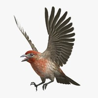 3d ma haemorhous mexicanus house finch