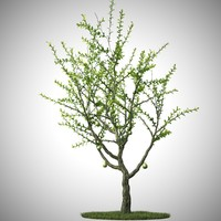calabash tree max