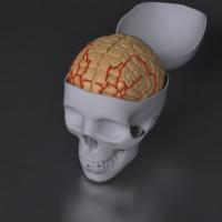 brain skull 3d max