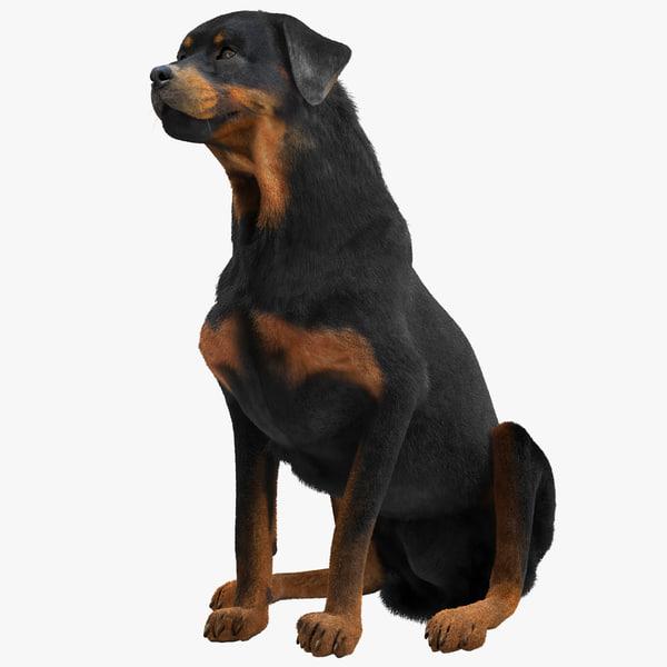 Rottweiler Fur rottweil butchers pet guard puppy vray canine k9