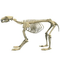 3d bear skeleton animal