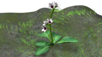 saxifraga plants saxifrages 3d model