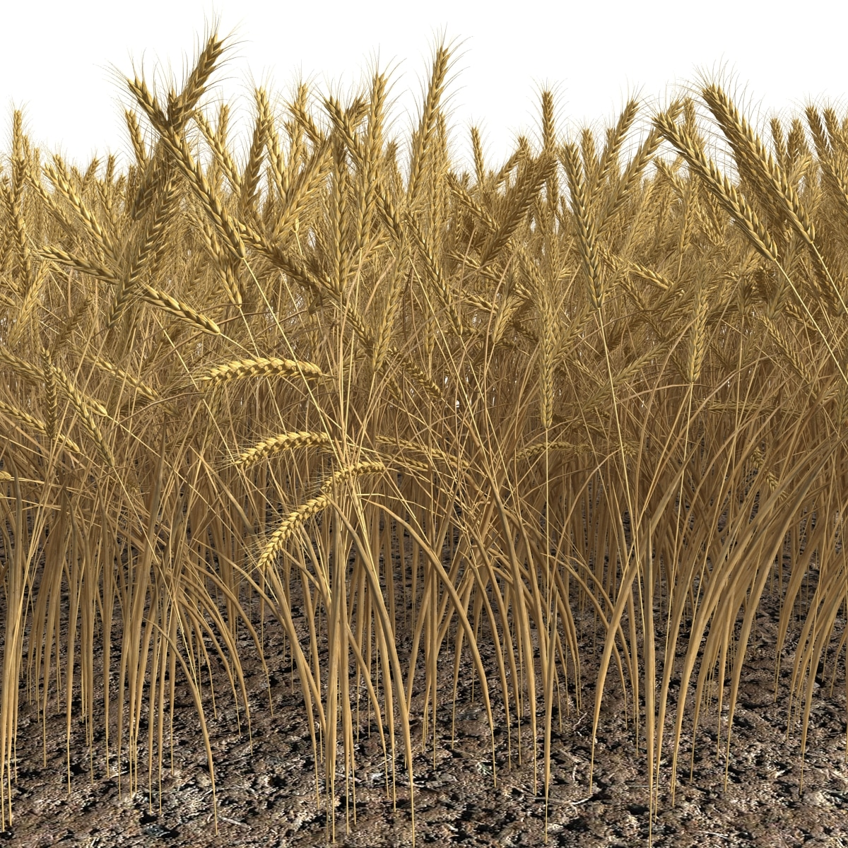 Wheat Field_8.jpg