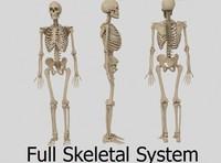 human skeletal 3d model