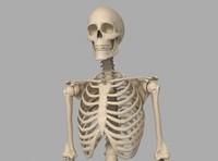 human skeletal 3d max
