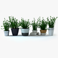 3d oregano herbs plant model