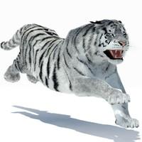 Tiger Amur White Rigged