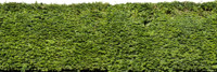 DBuzzi Texture Leaves Hedge  Tilable