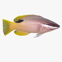 maya saddleback hogfish