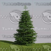 abies fraseri tree 3d model