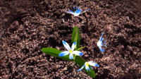 3d ma squill plants flowering