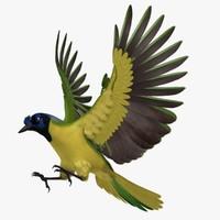 Cyanocorax Yncas 'Green Jay'