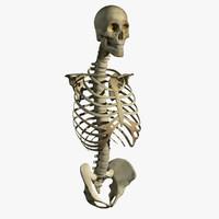 skeleton torso 3d model