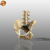 3d model modeled anatomy medical
