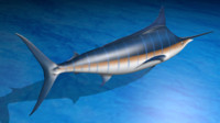 3d model realistic blue marlin poses