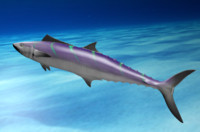 colorful wahoo fish poses 3d model
