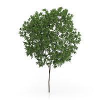 max elderberry tree sambucus nigra