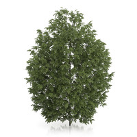 hackberry tree prunus padus 3d c4d