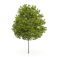 honey locust tree gleditsia 3d max