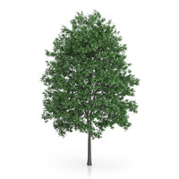 3d common hornbeam carpinus betulus model
