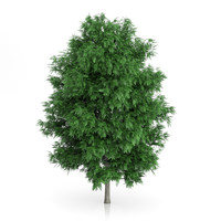 3d rowan tree sorbus aucuparia
