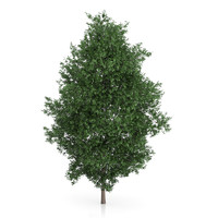 3d model large-leaved lime tree tilia
