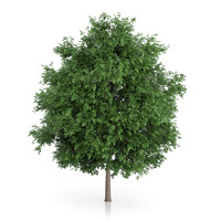 large-leaved lime tree tilia 3d model