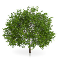 3d maidenhair tree ginkgo biloba