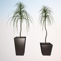 plant dracena marginata 2 3d max