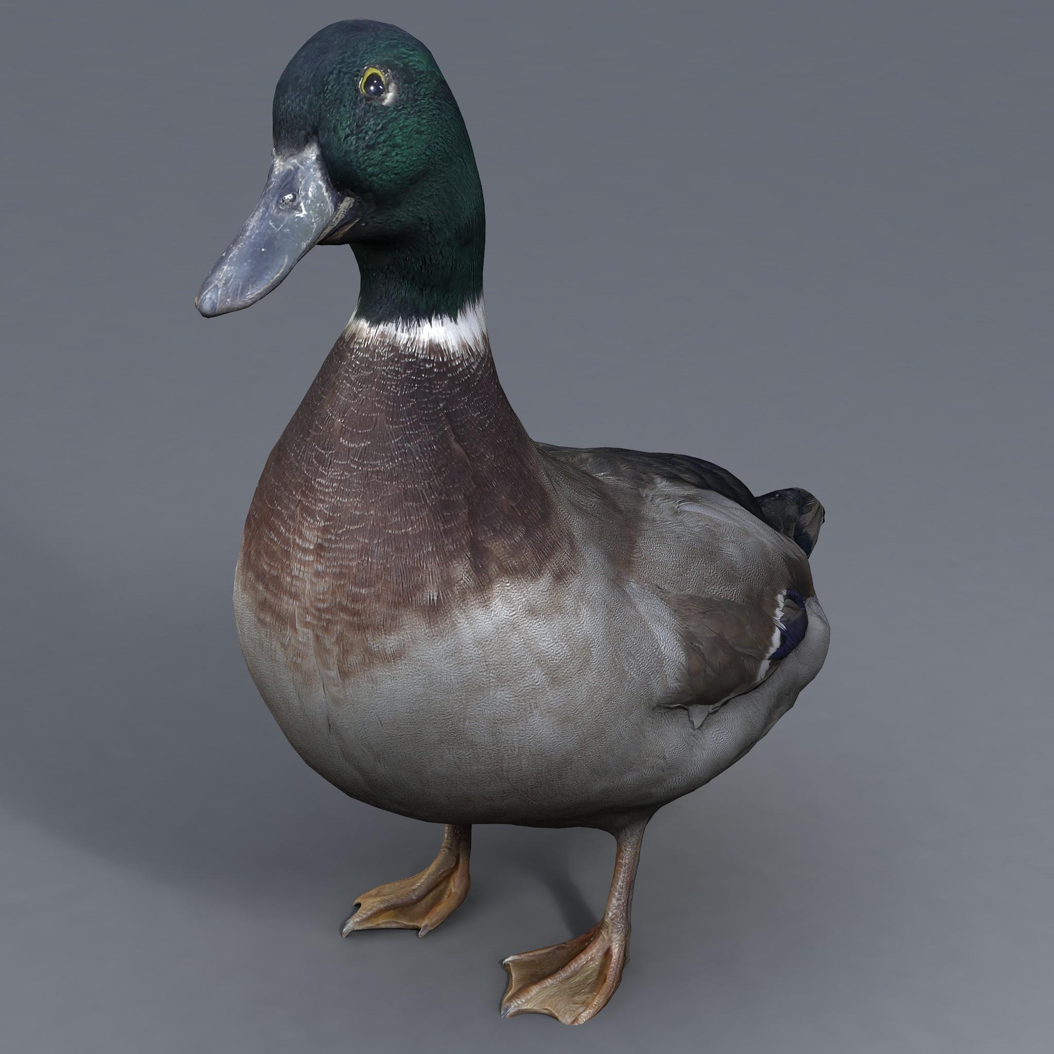 duck2_007.jpg