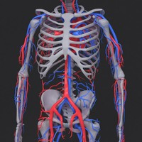 max skeleton circulatory
