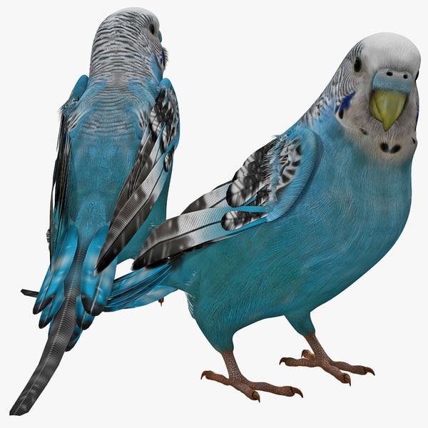 Budgerigar Melopsittacus undulatus common pet parakeet shell budgie vray domestic
