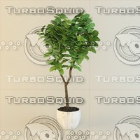 3d obj ficus plant pots