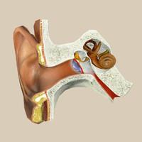 3d model inner ear