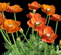 3d bush flowering poppy leaves model