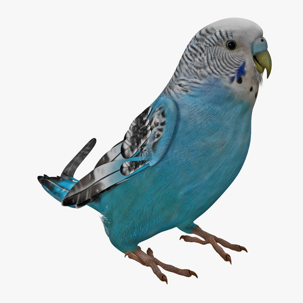 Budgerigar Rigged Melopsittacus undulatus common pet parakeet shell budgie vray domestic