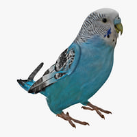 budgerigar rigged max